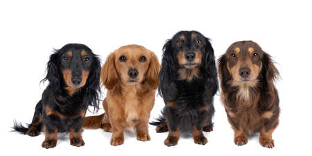 Closeup of four adult bi-colored longhaired wire-haired Dachshund dogs isolated on a white background