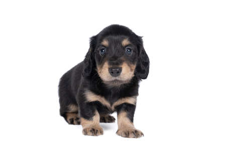 Closeup of a bi-colored longhaired wire-haired Dachshund dog isolated on a white background