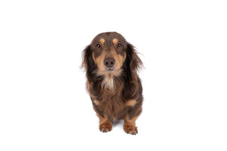 Closeup of an adult bi-colored longhaired wire-haired Dachshund dog isolated on a white background Stockfoto