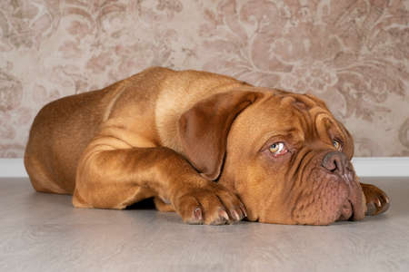 A Portrait of an adult Dogue de Bordeaux dog lying on the floor looking up bored Stockfoto