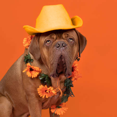 A Bordeaux dog supporter of Dutch soccer or football team with orange attributes Stockfoto