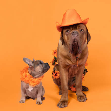 A French bulldog and Bordeaux dog supporters Dutch soccer or football team with orange attributes Stockfoto