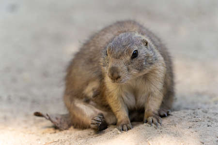 The black-tailed prairie dog, Cynomys ludovicianus, lives in colonies on the American prairies Stockfoto