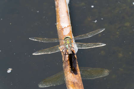 Green hawker dragonfly perching on a branch in a pond with reflection macro closeup