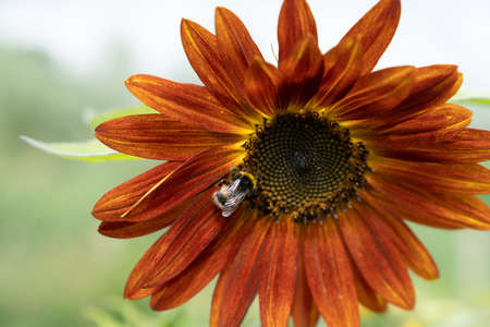 Bumblebees on a red sunflower close up