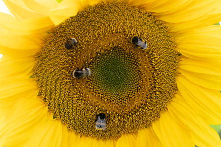 Bumblebees on a yellow sunflower close up
