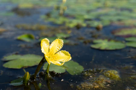 A Fringed Water-lily or Yellow Floating-heart - Nymphoides peltata - in a pond in the Eemland polder The Netherlands