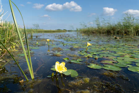 A Fringed Water-lily or Yellow Floating-heart - Nymphoides peltata - in a pond in the Eemland polder The Netherlands with landscape and sky