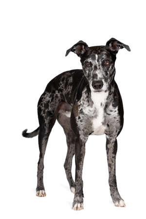 A Studioshot of a black gray and white lurcher a type of sighthound which is a mixed greyhound or whippet against a white background