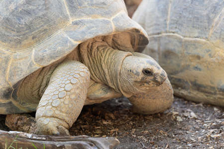Close up of a Aldabra giant tortoise - Aldabrachelys gigantea - one of the largest tortoises from the Seychelles in the Indian Ocean