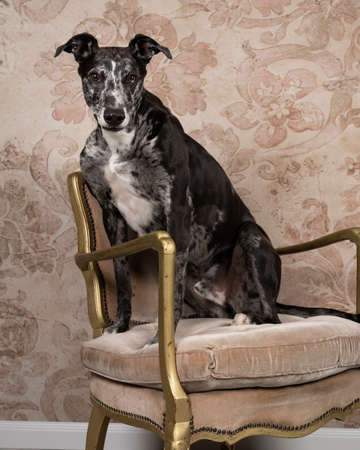 A Studioshot of a black gray and white lurcher sighthound mixed greyhound - whippet sitting in a chair