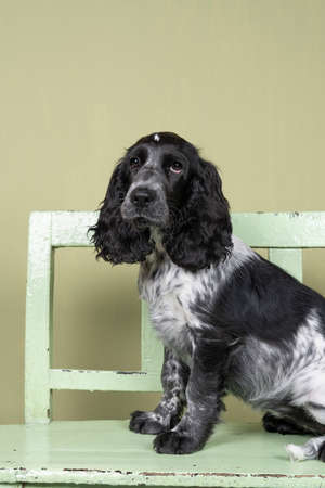 A Full body portrait of a cute English cocker spaniel sitting on a green wooden bench