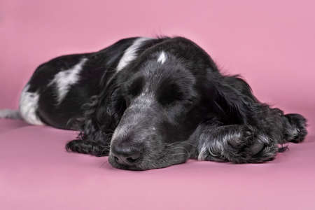 Full body portrait of a cute English cocker spaniel sleeping isolated on pink background