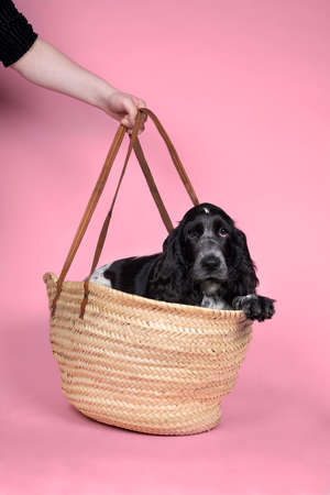 A Portrait of a cute English cocker spaniel sitting in a wicker basket or bag on a pink background