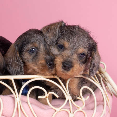 Three bi-colored longhaired wire-haired Dachshund dog pups sleeping in a basket on pink background
