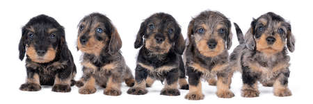 Closeup of five bi-colored longhaired wire-haired Dachshund dog puppies isolated on a white background Stockfoto