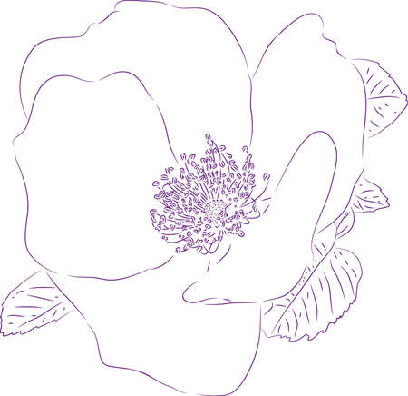 Planimetric drawing of a flower of a dogrose.
