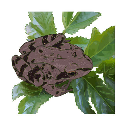 The beautiful meadow frog sits on green leaves. Illustration