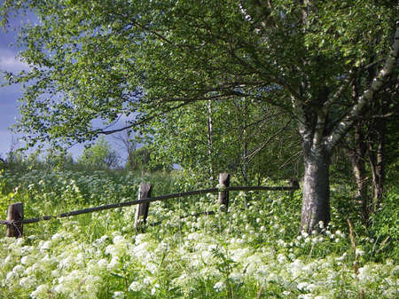 View with the birch and the old fence.