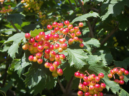 The unripe clusters of a guelder-rose shined with the sun in green leaves.
