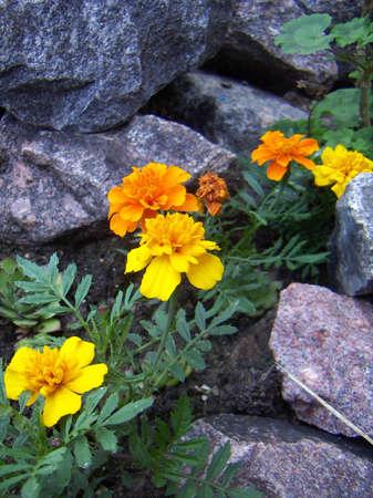 Yellow and orange flowers grow in granite stones. Stock Photo