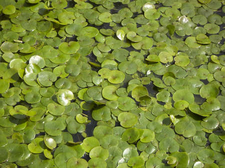 Small green leaves of a water-lily on a water table Stock Photo - 7570508