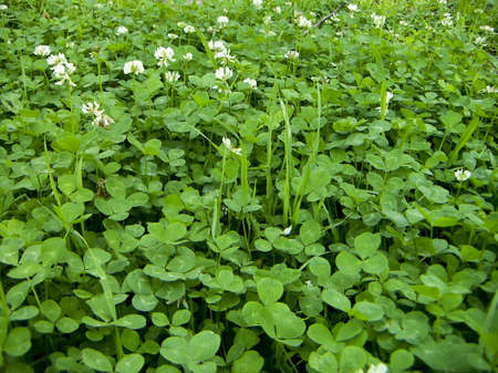 Wood blossoming clover on a grassy cover. Stock Photo - 7640642