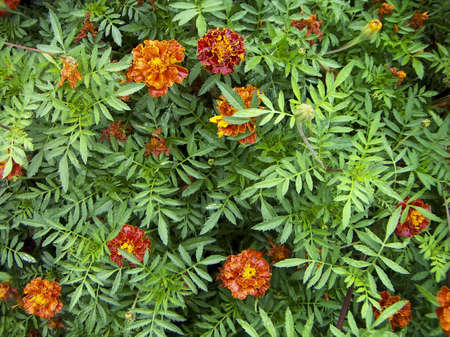 Orange-red flowers Tagetes against green leaves. After a rain. photo