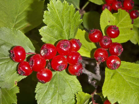 hawthorn: Bright red berries of a hawthorn and leaves - a close up. Stock Photo