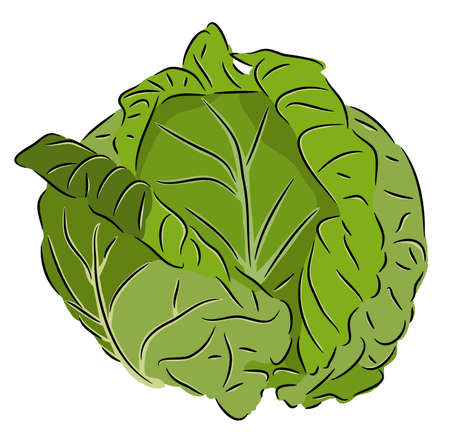 cabbage: Cabbage Illustration