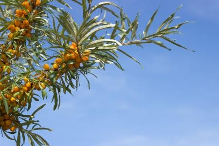 argousier: Beau fond avec des branches horizontales argousier et le ciel bleu