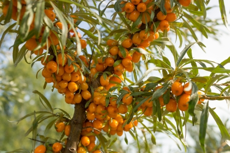 Branches with ripe berries of seabuckthorn