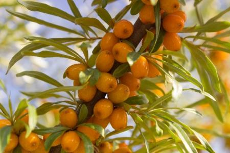 argousier: Branches avec fruits m�rs de l'argousier Banque d'images