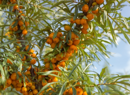 seabuckthorn: Branches with ripe berries of seabuckthorn