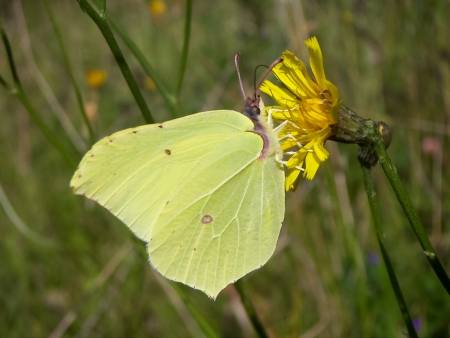 Brimstone butterfly  Gonepteryx rhamni  sucking nectar on the blossom  photo