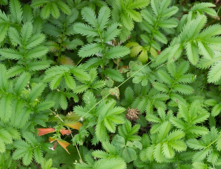 Silverweed  Potentilla anserina  leaves background  top view   Stock Photo