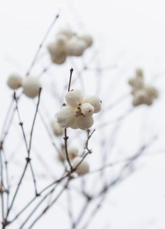 Snowberries (Symphoricarpos) on a light background. Stock fotó