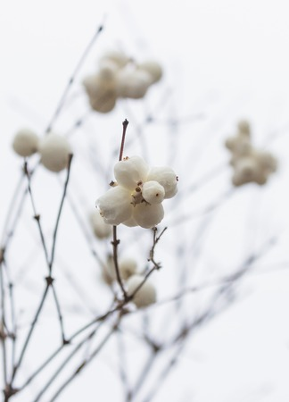 Snowberries (Symphoricarpos) on a light background. Stock Photo