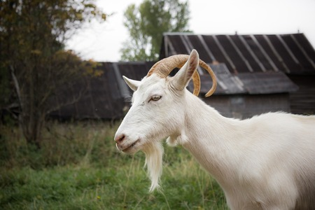 Adult white goat village with large horns. Stock Photo