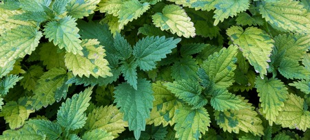 Nettles with green and yellowed leaves. Close up. photo