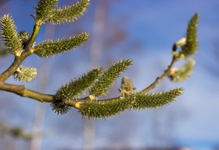 Willow twig with green catkins on a blue sky background. photo