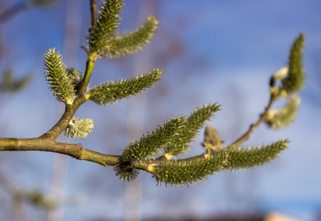 Willow twig with green catkins  photo