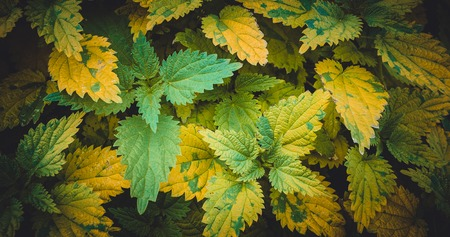 Nettles with green and yellowed leaves. Close up. Tinted photo. photo