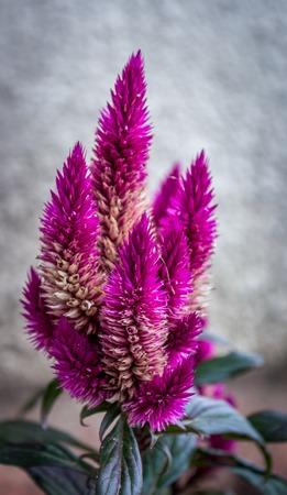celosia: Celosia spicata