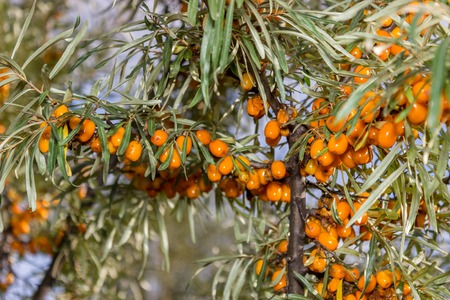 seabuckthorn: Branches of seabuckthorn