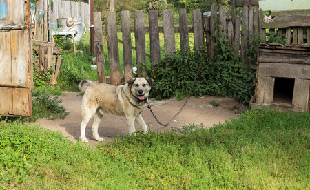 perky: Village dog