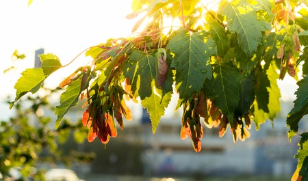 silver maple: Silver maple, Acer saccarinum