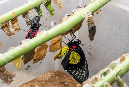 pez vela: Crisálida de mariposa tropicales colgando de las ramas y la mariposa Papilio rumanzovia, pez vela Rumyantsev y Troides rhadamantus.