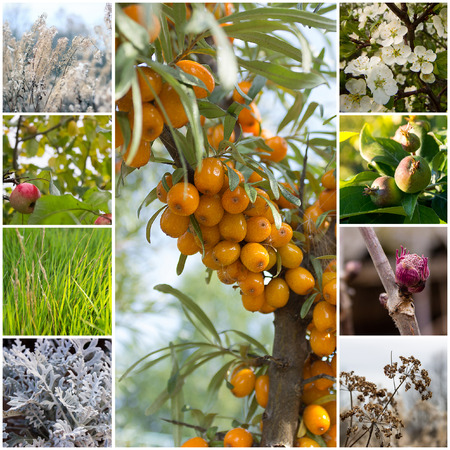 argousier: A collage of 9 photos of various plants. In the center of sea-buckthorn with ripe fruit.