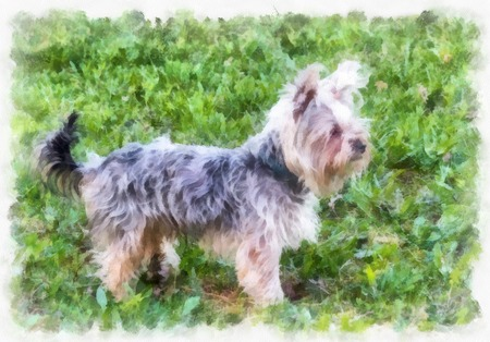 yorkshire: Watercolor painting beautiful little Yorkshire Terrier standing on the grass.